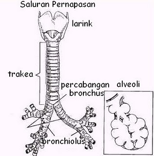 Tenggorokan Trakea
