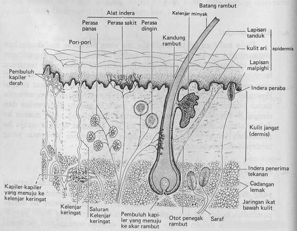 ekskresi kulit