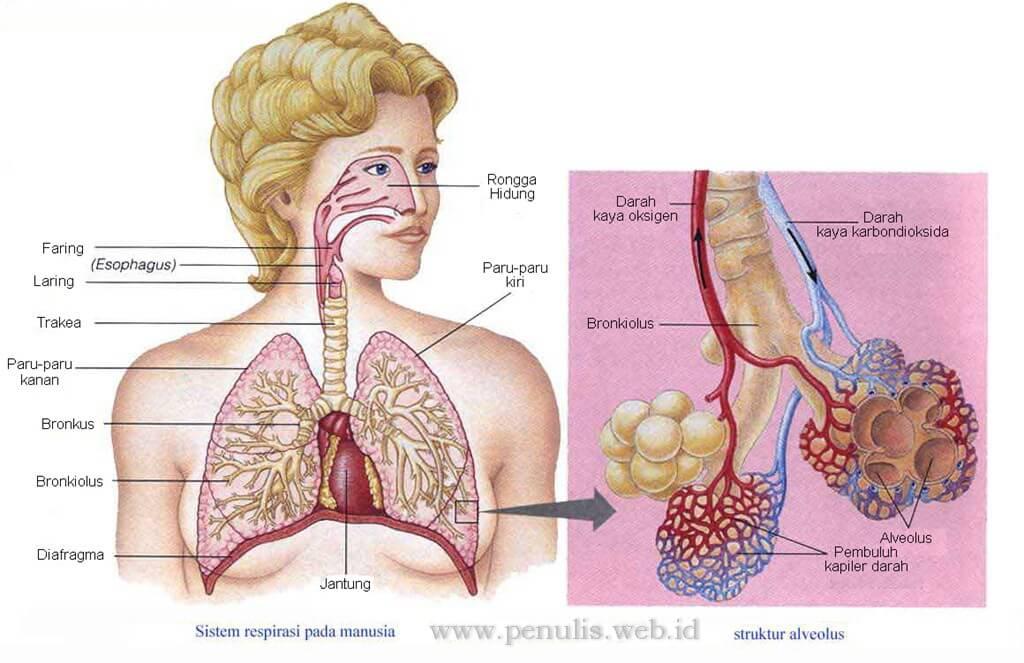 sistem ekskresi paru paru